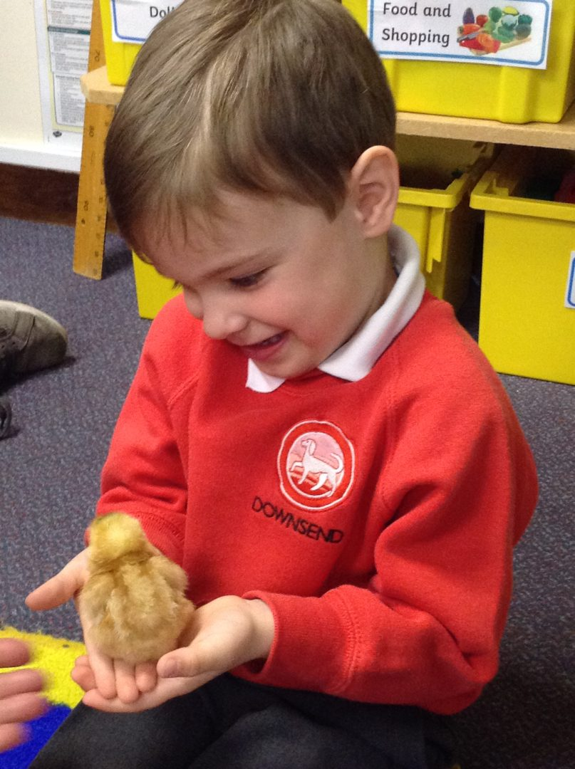 Downsend pupil shares excitement with the baby chick